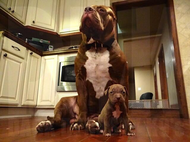 Chú chó pitbull khủng nhất thế giới