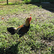 Saipan Jungle Fowl