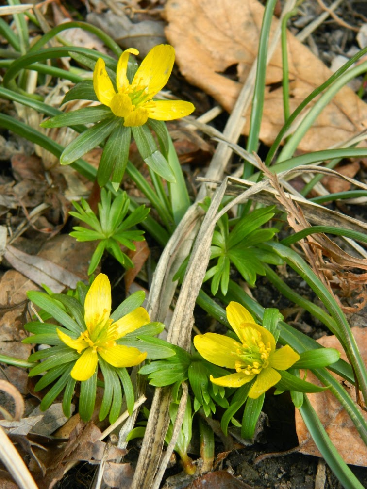 Eranthis hyemalis winter aconite Toronto Botanical Garden by garden muses-not another Toronto gardening blog