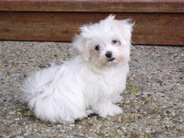 Cachorro del perro Bichón Maltés