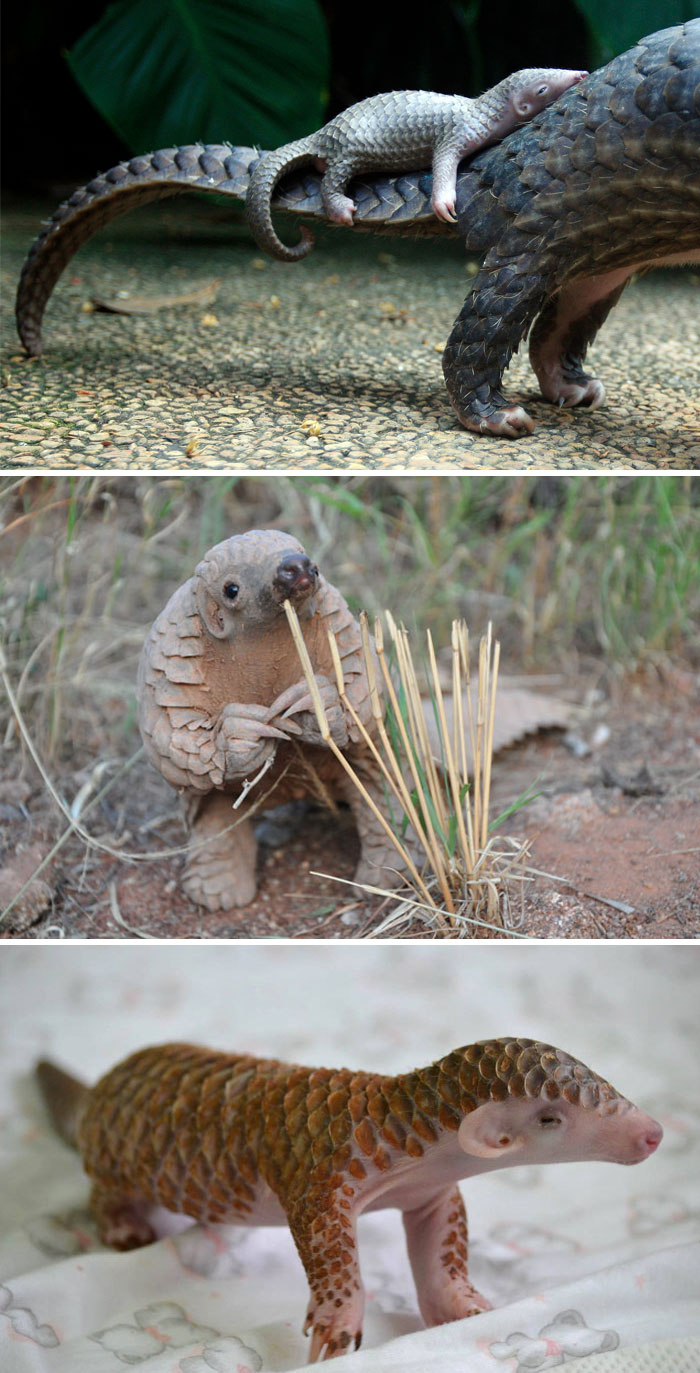#4 Baby Pangolin - 10 Rare Animal Babies You've Probably Never Seen Before