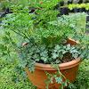 Cara Menanam Seledri di Polybag (Pot) Dengan Mudah Cepat Tumbuh Subur