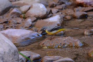 Motacilla cinerea - B. des ruisseaux