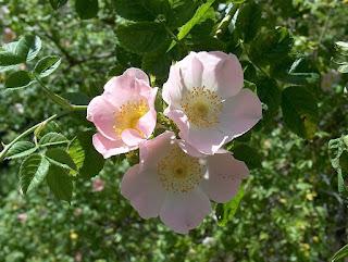 hoa hồng dại tầm xuân
