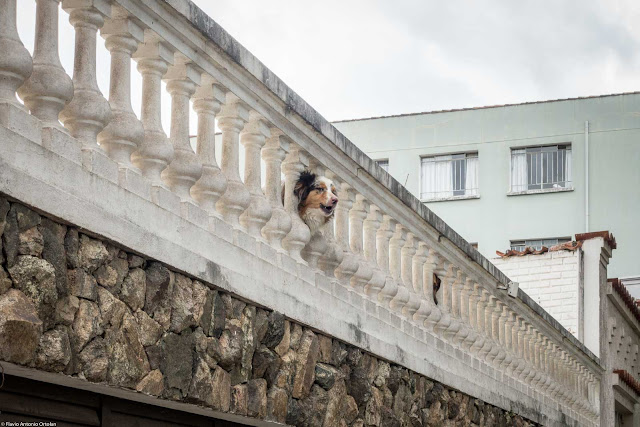 Cachorro latindo no muro