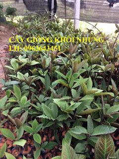 Cungcấp cây giống khôi nhung, cây lá khôi, khôi tía, giống sa nhân tím số lượng lớn, bao tiêu đầu ra