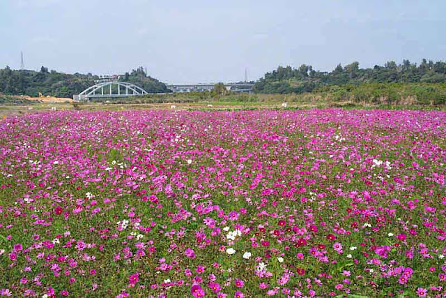 Field of cosmos in Kin Town, Okinawa