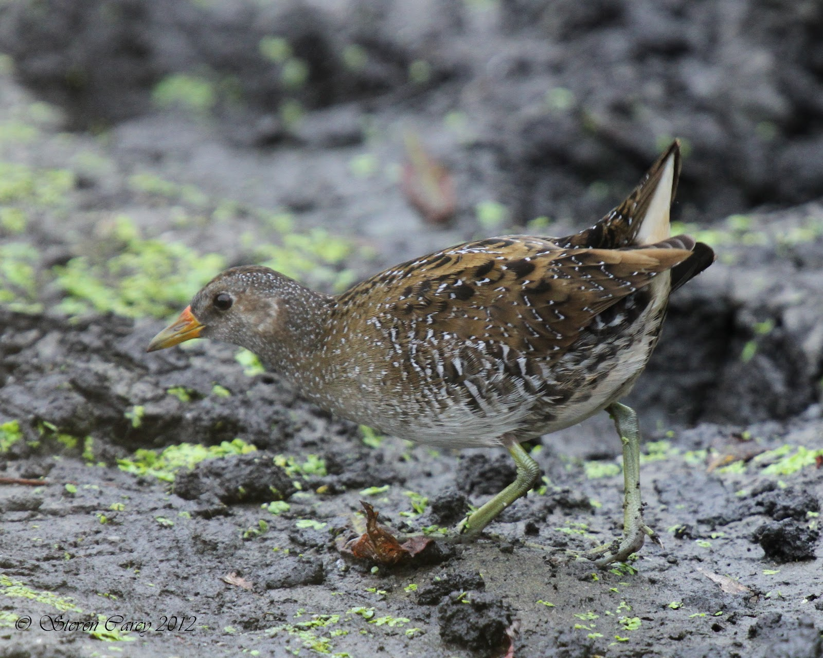 Steve Carey Bird Photography: Spotted Crake (Porzana porzana)