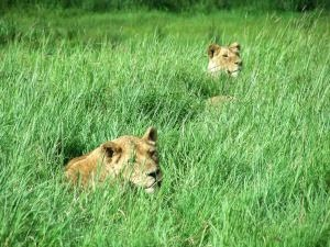 Two Aslan hiding in the tall grass.