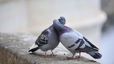 lovebirds--HD-Wallpapers