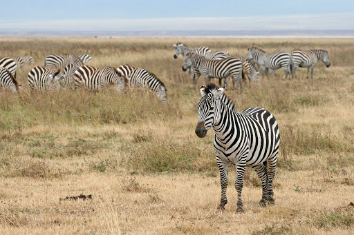 Unintelligent Design News - Zebras Winning The Arms Race
