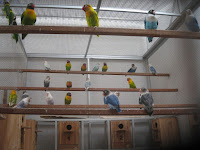 Kandang Lovebird Koloni