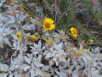 Brittlebush on Fish Canyon access trail in Vulcan Materials' Azusa Rock quarry