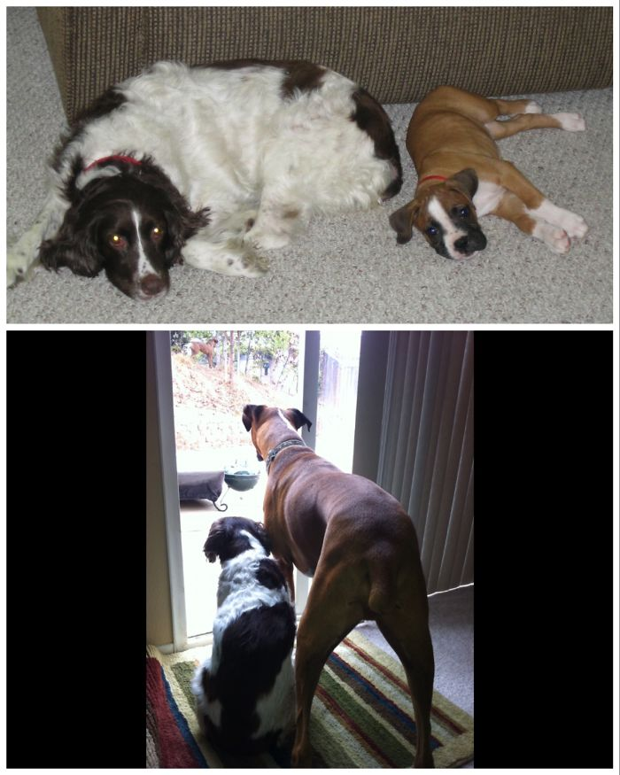 50 Heart-Warming Photos of Animals Growing Up Together - Zena The English Springer Spaniel As King The Boxer's Adoptive Aunt.