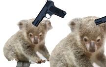 Deux koalas en danger
