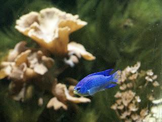 Demoiselle bleue - Chrysiptera cyanea - Glyphisodon cyaneus - Diable bleu