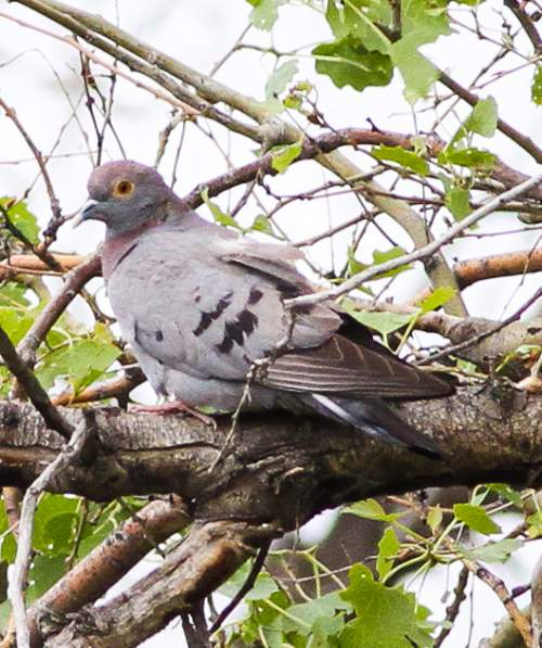 Indian birds - Image of Yellow-eyed pigeon - Columba eversmanni