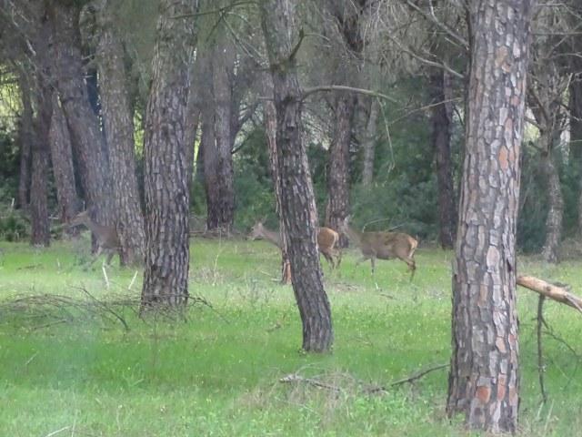 Ciervo Doñana en pinar, berrea