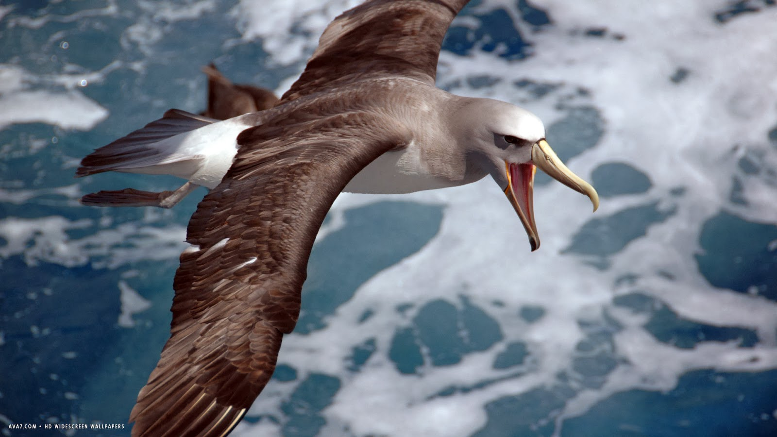 Any One 1 6 Jaeger Birds Hd Wallpapers: Any One 1-6: Albatross Images