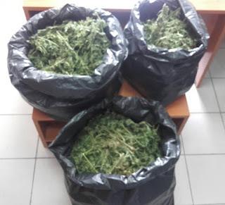 Συνελήφθη 50χρονος στην Πιερία για καλλιέργεια και διακίνηση κάνναβης. Κατασχέθηκαν πάνω από 30 κιλά ημιαποξηραμένων φυτικών αποσπασμάτων κάνναβης