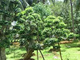 ciri ciri pohon serut di alam liar