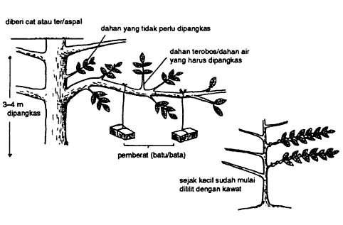 http://tipspetani.blogspot.com/2016/11/cara-memangkas-pohon-durian-yang-tumbuh.html