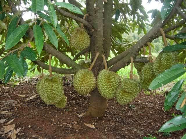 Cara Agar Pohon Durian Cepat Berbuah Lebat
