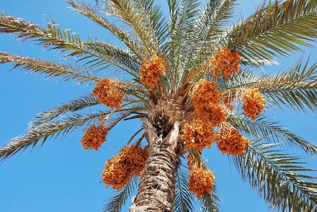 Cara Membedakan Pohon Kurma Jantan Dan Betina