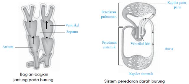 Sistem Sirkulasi Burung