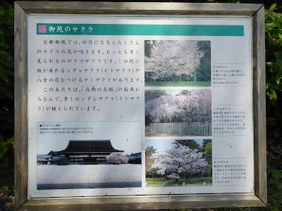 近衛(このえ)の糸桜