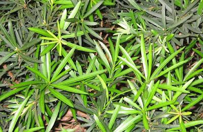 PODOCARPUS MACROPHYLLUS Podocarpaceae BUDDHIST  PINE photo