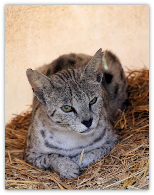 Best Pictures of Cats and More: Silver F2 Savanah Cat