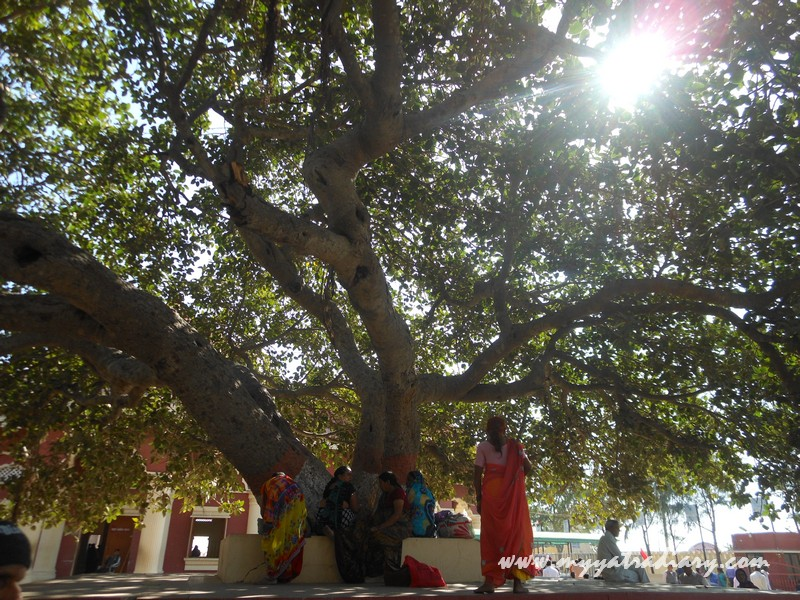 Banyan tree in Nageshwar Jyotirling Shiva Temple, Bet Dwarka