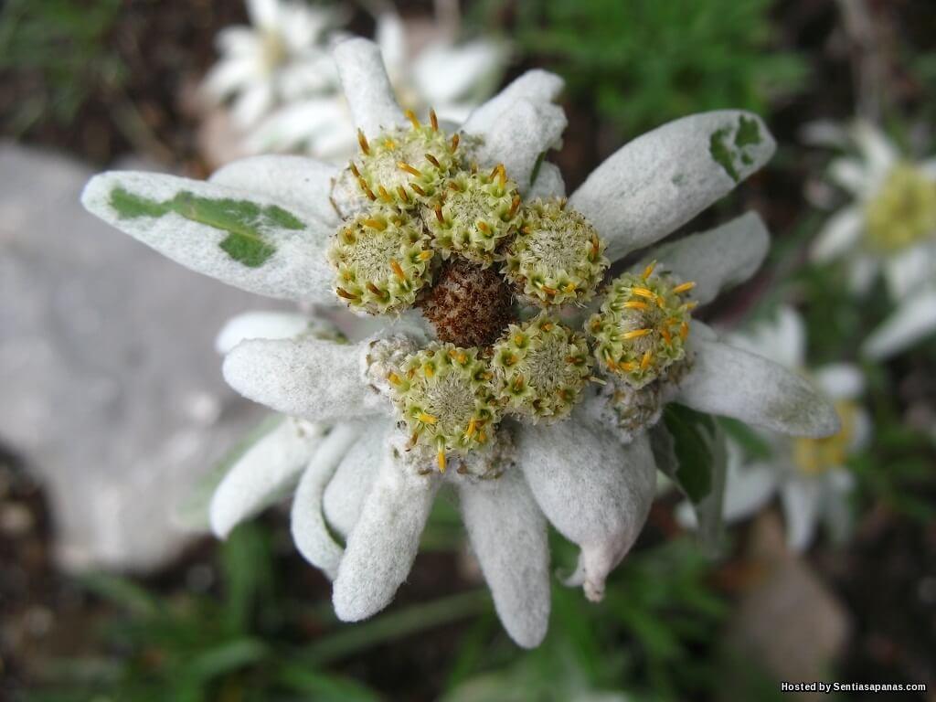 Bunga Leontopodium Alpinum Bukti Cinta Sejati!?