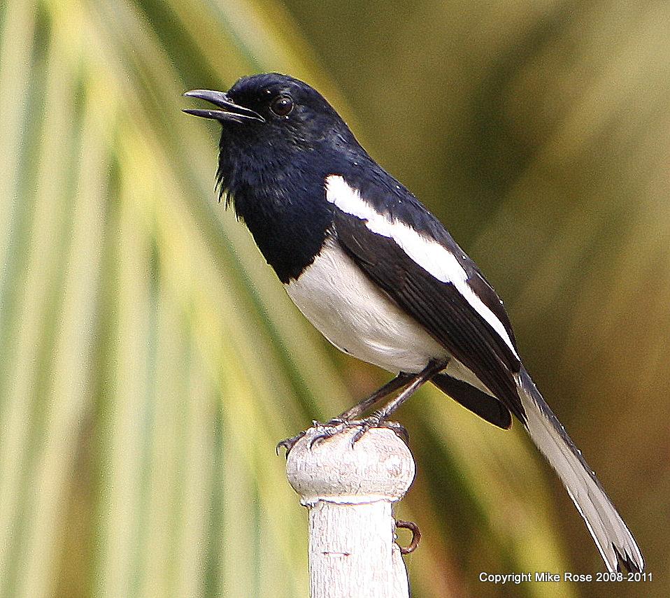 Kumpulan Foto Burung Kacer Magpie Robin Burung Master