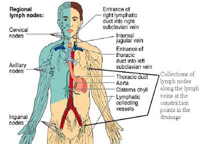 Sistem limfatik pada manusia