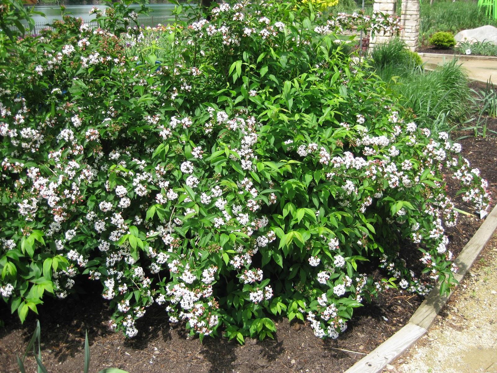Abelia White Flowers Gardening Flower And Vegetables