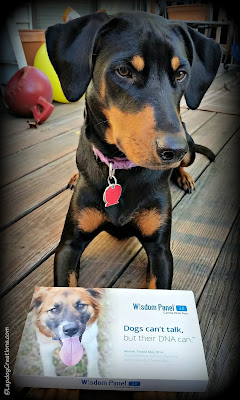doberman mix puppy wisdom panel