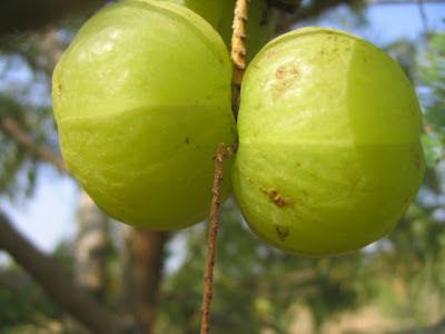 Cara membuat manisan buah malaka