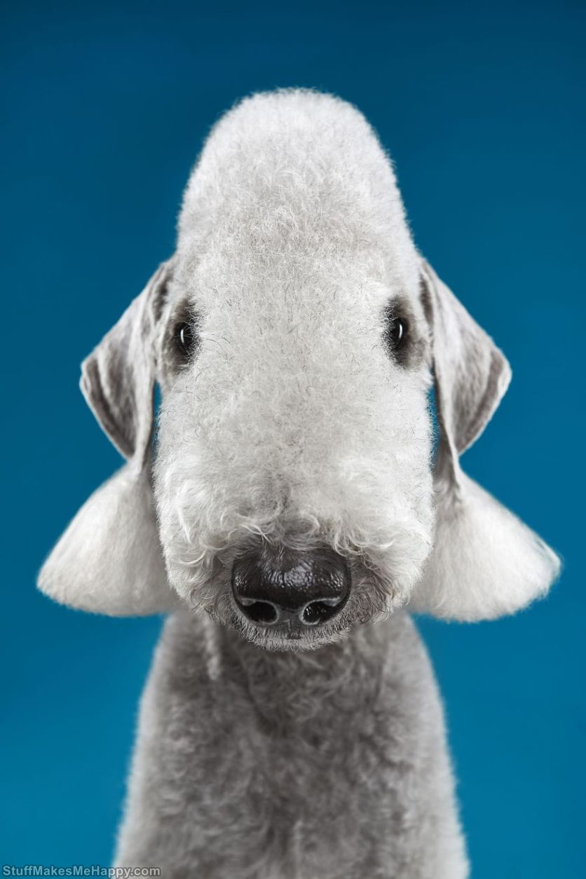 2. Imagine how a sheep could look like from another planet. If it does not work out, then remember about bedlington terriers