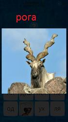 Стоит горный баран с большими рогами