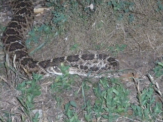 Eastern Diamondback Rattlesnake in Texas where they are tortured for entertainment.
