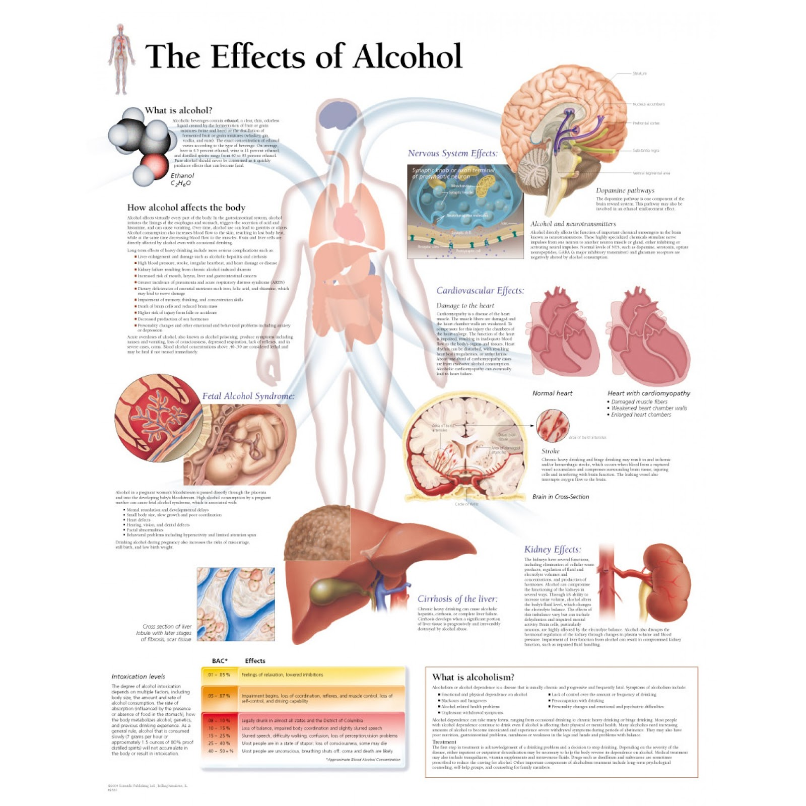 Diagrams The Effects Of Alcohol Human Body