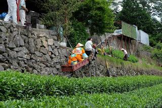 森下安男(やっさ)さんの茶畑