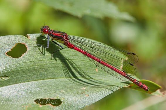 Frühe Adonislibelle / Frühe Adonisjungfer (Pyrrhosoma nymphula)