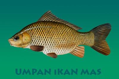 4 Umpan Ikan Mas Ampuh Dijamin Strike Terus