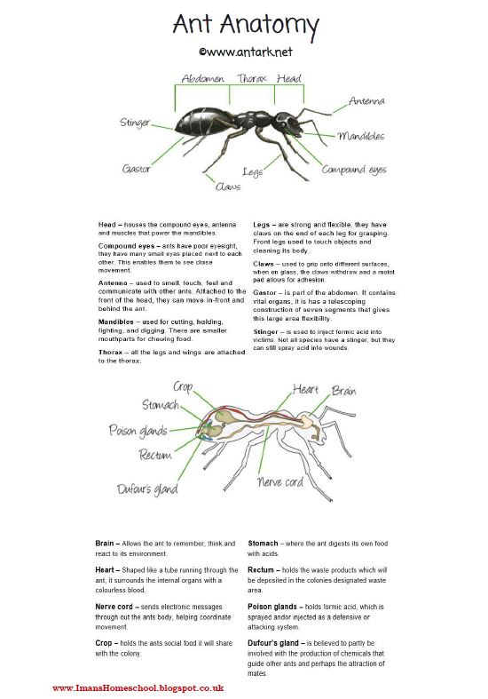 Imans Home School Ant Activity Pack