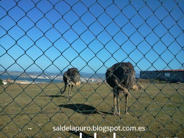 avestruzes-gijón-campa-torres