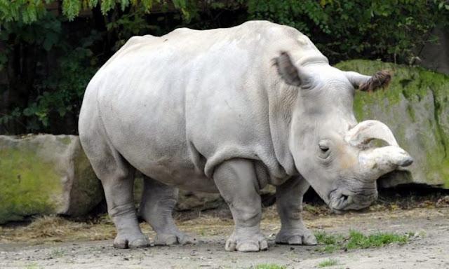 Muere Sudán, el último rinoceronte blanco del norte macho