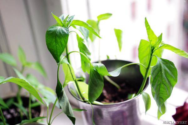 aliciasivert, alicia sivert, alicia sivertsson, odling, plantera, ekologisk paprika, paprikafrön, änglamarks ekologiska odlingsjord, kruka, skott, planta, plantor, paprikaplantor, plant, flowers, flower, sweet peppers